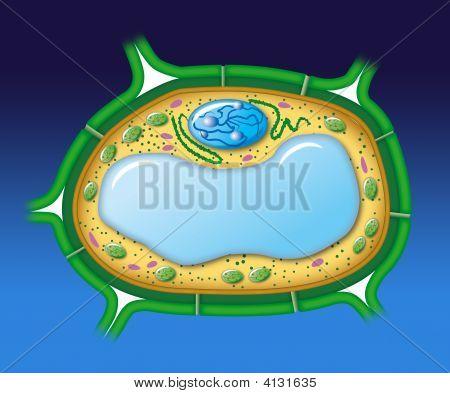 Vegetal Cell