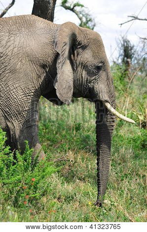 Elephant in Serengeti national park Tanzania