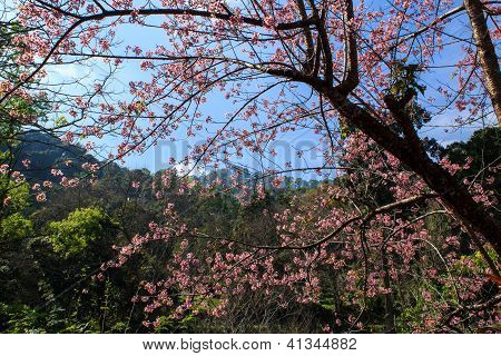 Cherry Blossom Background With Lovely Pink Color , Khunchangkain