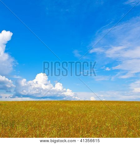 Buckwheat Field And The Beautiful Blue Sky