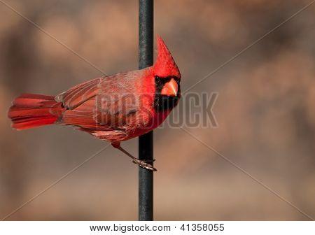 Northern Cardinal male, Cardinalis cardinalis, hanging off a shepherd's hook