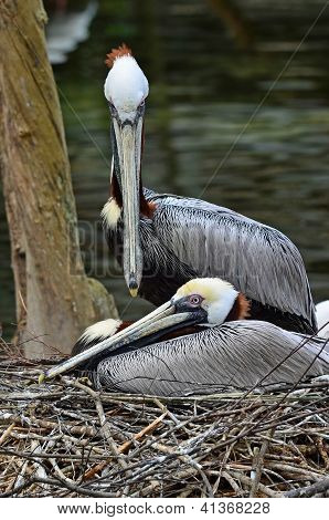 Brown Pelican Nesting