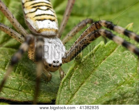 Big Spider With Black Eyes