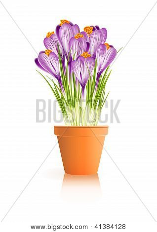 Spring Gardening. Crocuses Flowers In Pot On White Background