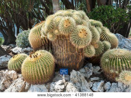 Oldest and unique in Europe Echinocactus grusonii