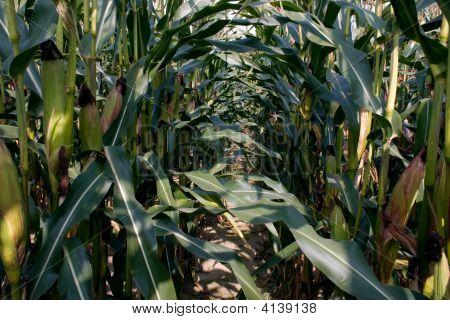 Ripening Corn