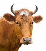 stock photo of husbandry  - red cow looks into camera isolated over white - JPG