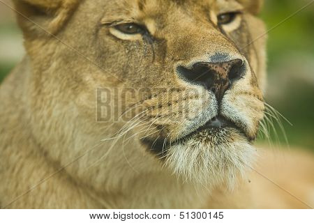Female Lion Head