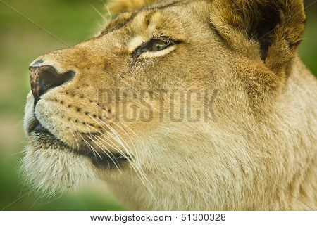 Female Lion Close Up