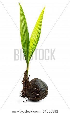 Bud Of Coconut Tree