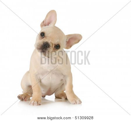 curious puppy - adorable french bulldog puppy with cute expression looking at viewer on white background