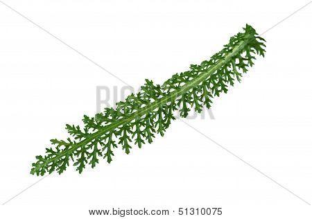 Yarrow Leaf