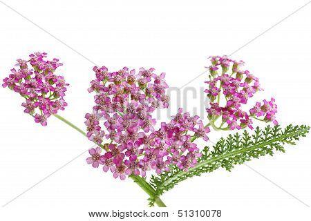 Yarrow Wildflower