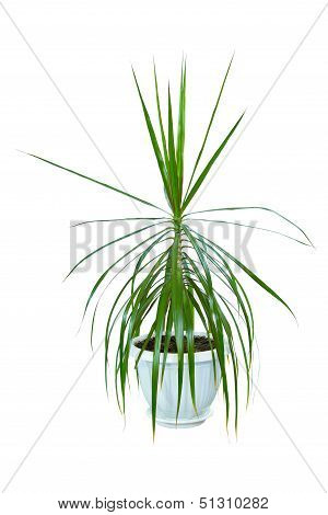 Image Houseplant Dracaena Palm In A Pot