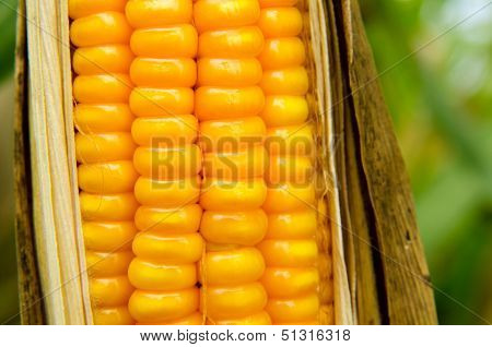 Feed Corn Dry In The Field