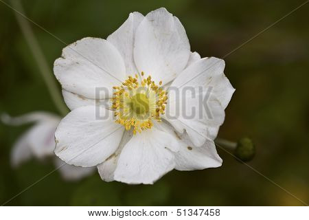 Closeup Of An White Anemone
