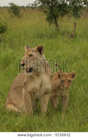 Lioness And Cub Knp