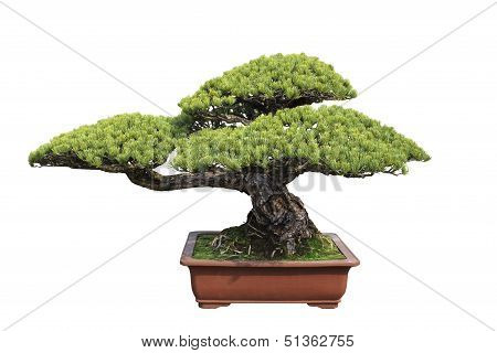 Green Bonsai Pine