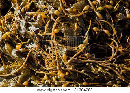 California Pacific seaweed Giant kelp Macrocystic pyrifera macro texture