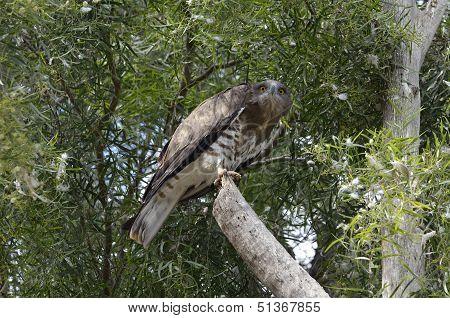 Bird Of Prey Falcon