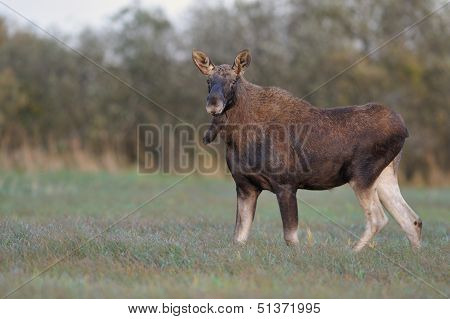 Moose Bull in the meadow