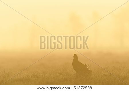 Black Grouse Shouting In Sunrise