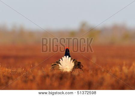 Black Grouse (tetrao Tetrix) Tail At Sunrise