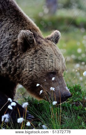Brown Bear Smelling