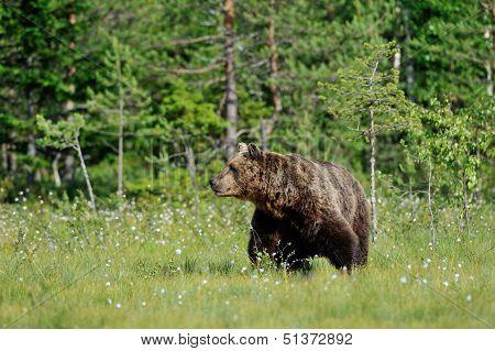 Big Brown Bear (ursus Arctos) In Summertime