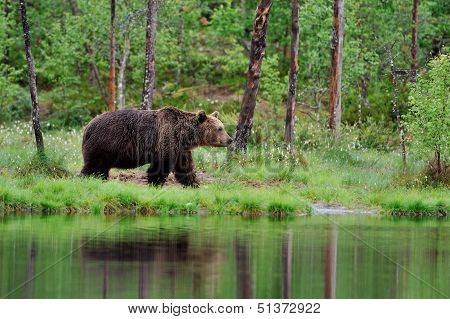 Brown Bear In The Rain