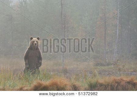 Bear Standing In The Mist