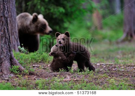 Bear Cubs Playing In Front Of Mother Bear