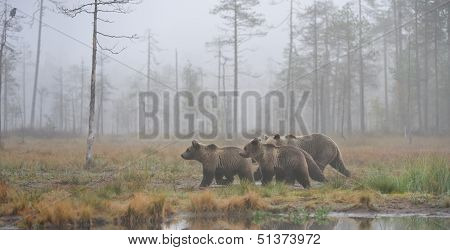 Brown bears in mist