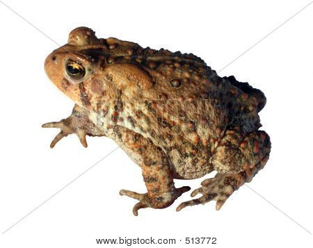 Common Toad Isolated