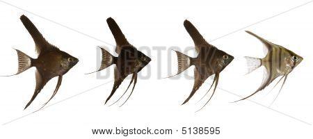 Scalar Fish Line