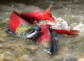 image of spawn  - male and female red salmon in river before spawning - JPG
