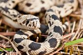 foto of harmless snakes  - A hatchling northern pine snake coiled up in the grass.