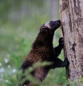 picture of wolverine  - Wolverine standing against a tree in summer