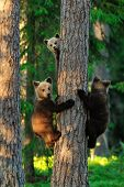 stock photo of bear cub  - Bear cubs on a tree in summertime