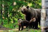 stock photo of bear  - Brown bear with cubs in the forest - JPG