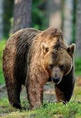 foto of male-domination  - Big male brown bear in the forest