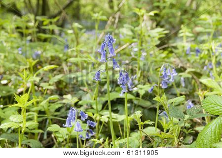 Bluebell flowers in Spring woodland, Sheffield UK