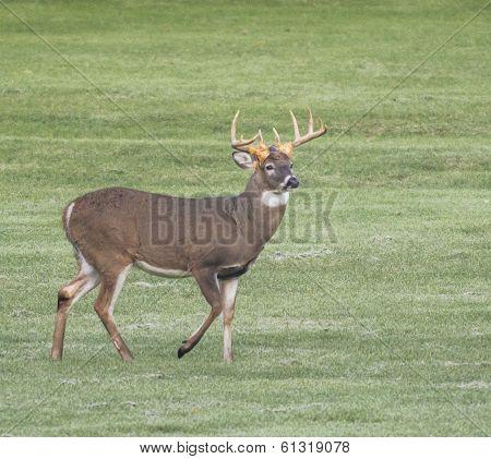 White Tailed Deer Buck