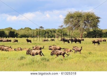 Blue Wildebeest - Wildlife Background from Africa - Herd of Many