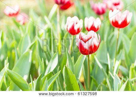 beautiful tulips field
