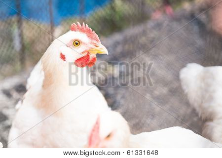Close Up White Chickens
