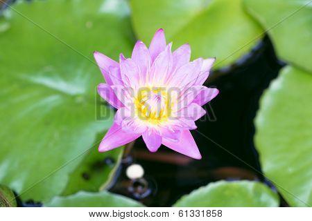 Purple Lotus Flower Blooming