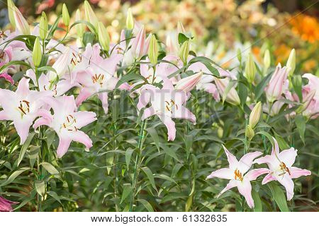Pink Lily In The Field