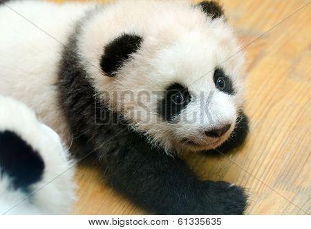 Baby Giant Panda in the Nursery Play pan, Chengdu, China