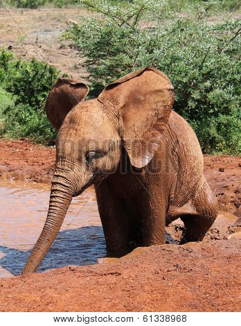 Baby African elephant in the mud